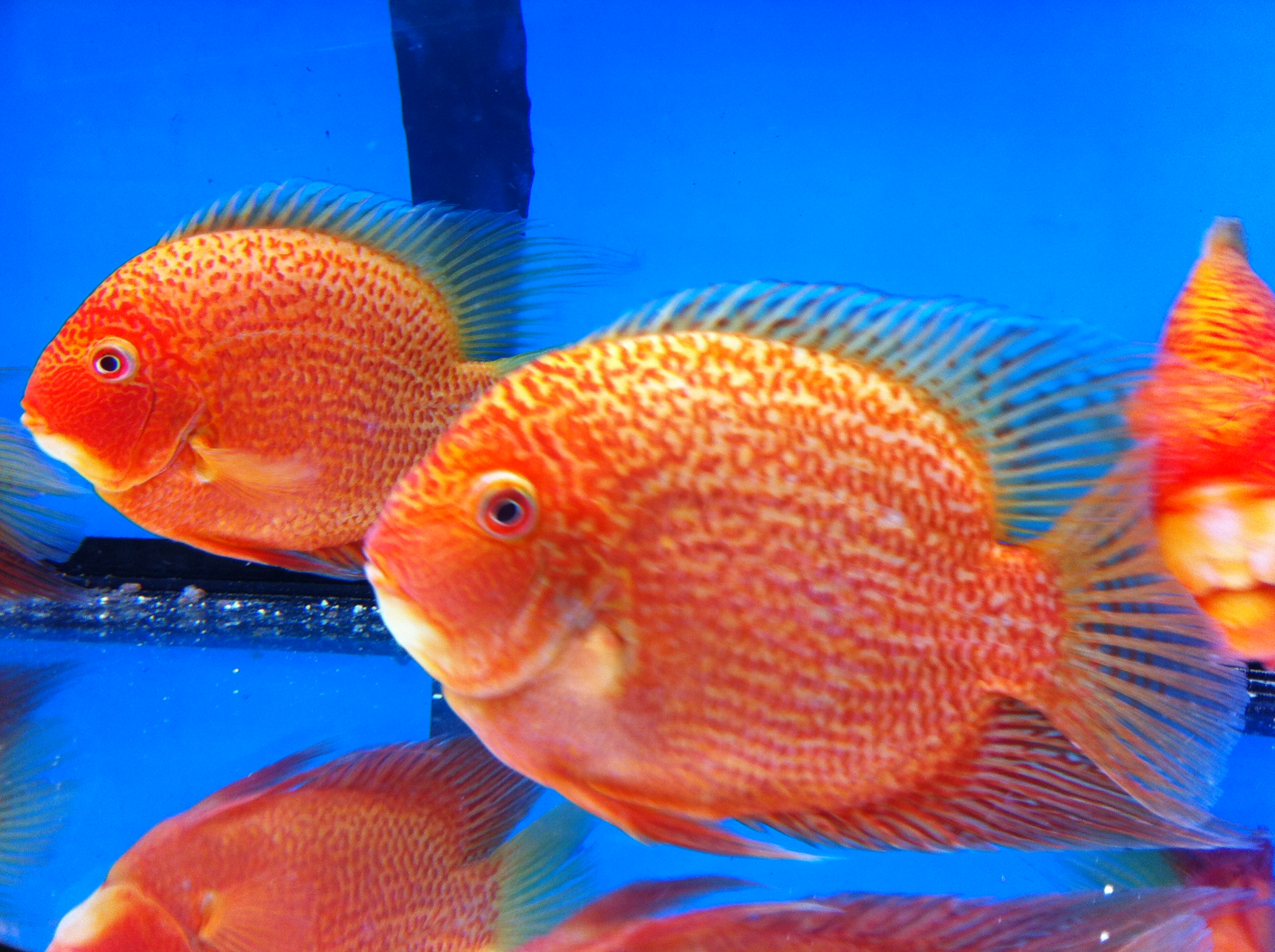 Fish for coldwater aquarium - Severum